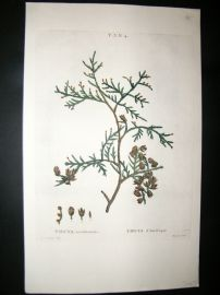 Redoute C1800 Folio Hand Col Botanical Print. Thuya Occidentalis